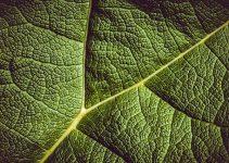 plante psoriasis